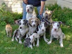 merle dogs pitbulls  | merle - Pitbulls : Go Pitbull Dog Forums