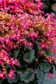 Berry Bright Saxifrage (Saxifraga fortunei 'Magenta') makes a splash well into the cold months. Blooms late fall to late winter. Grows 6 to 10 inches tall and 8 to 12 inches wide. Full to part shade; needs regular watering. Zones 6 to 9; Monrovia