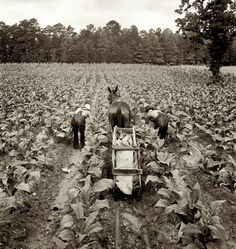 "Shoofly Tobacco: July 1939. Shoofly, North Carolina. ""Tobacco field in early morning where white sharecropper and wage laborer are priming tobacco."" Medium format nitrate negative by Dorothea Lange for the Farm Security Administration."