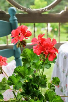 Houseplants for Better Sleep Aiken House and Gardens: A Perfect Summer Day. Summer Flowers, Pretty Flowers, Easy To Grow Houseplants, Red Cottage, Garden Cottage, Red Geraniums, Hibiscus, House Plants, Flower Power