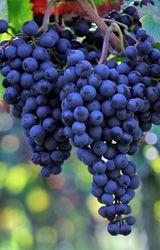 L'uva può migliorare la memoria