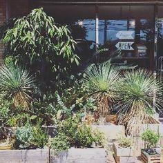 ユッカロストラータの画像 by CLUTCH FURNITUREさん | お出かけ先とユッカロストラータとユッカロストラータとユッカロストラータと観葉植物と男前植物と育てやすいとユッカ属と珍しいと鉢植え、地植えと希少と珍奇植物と葉っぱアートとボタニカルショップ Dry Garden, Interior And Exterior, Shades, Gardening, Green, Flowers, Plants, House, Home