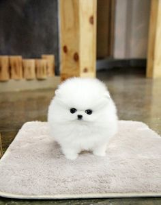 Best Place To Buy Teacup Puppies Small Dogs For Sale