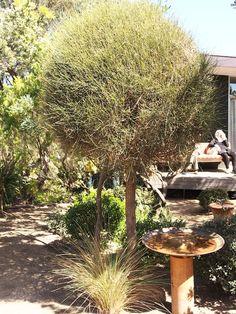 Pruning Australian native Australian plants. Topiary casuarina. Design Fiona Boxall