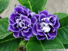 Gloxinia des fleuristes, Gloxinia élégant, Sinningia speciosa