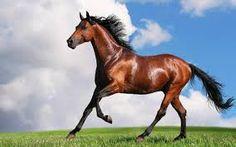 razas de caballos pura sangre arabe - Buscar con Google