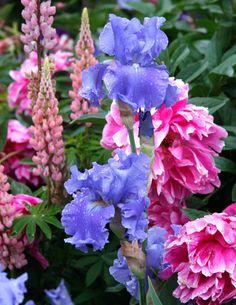 Peonies + Bearded Iris Garden