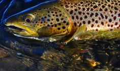 Pretty brown trout on the fly.