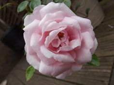 To help writers out there - this is a picture of my rose bush last year :) Rose Bush, Gaia, Writers, Muse, Bloom, Inspired, Create, Flowers, Plants