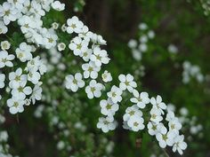 white japanese flower | Click for Larger Photo - Yuki Yanagi - Snow Willow, Japan March