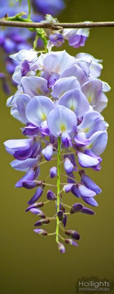Chinese Wisteria…   Actually, I *have* this in my garden and it LOVES TO CLIMB... just saying.
