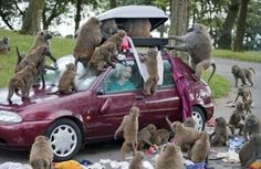 Rule number one... Never, ever, go into a drive through safari park with a suitcase full of clothes on your car! #spon - Check out these Animals vs Cars moments for the best laugh of the week.