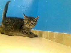$25 IN RESCUE PLEDGES TO BE DESTROYED 6/24/13 Brooklyn Center NYC ACC My name is TOMMY. My Animal ID # is A0968993. I am a male br tiger domestic sh mix. The shelter thinks I am about 7 WEEKS old. I came in the shelter as a STRAY on 06/19/2013 from NY 11423, owner surrender reason stated was STRAY. I came in with Group/Litter #K13-141795.
