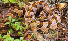 In Florida, the Timber Rattlesnake is often called the Canebrake Rattler. The snake belongs to the light-colored, southern race of Crotalus horridus. This snakes favorite habitat is the slopes leading to creeks running through hardwood forests. The Timber Rattlesnake is not as aggressive as the Diamondback. This viper will usually try to slither away if approached, but if stepped on on, the Timber Rattlesnake will probably strike. The venom of the Timber rattlesnake is potentially lethal.