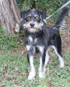 Gretel is an adoptable Wire-haired Pointing Griffon searching for a forever family near Helotes, TX.She is affectionate and sensitive, playful and concerned about her people. Small Breed, Small Dogs, Rescue Dogs, Animal Rescue, Black Dogs, Save A Dog, Humane Society, Wolves, Animals And Pets