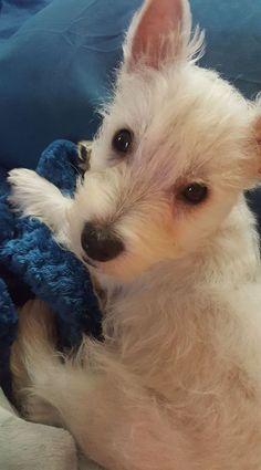 10f1aa355 11 Best Westie images in 2019 | Westies, Dog lovers, Christmas crafts
