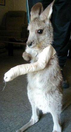 poor baby kangaroo with a broken arm