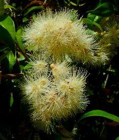 Syzygium Australe (Eugenia myrtifolia)
