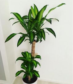 Called the corn plant for short, this house plant is known for removing several types of toxins from the air and it's tall tree-like shape makes it a great addition to any room. NOTE: Leaves are toxic so keep away from pets. Available at Home Depot ($17), Amazon ($17), and your local plant nursery.