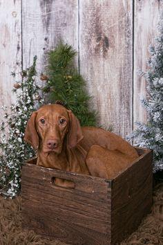 Vizsla in a box :) Bloodhound Dogs, Weimaraner, Rat Terrier, Wirehaired Vizsla, Ibizan Hound, Hungarian Vizsla, Hunting Dogs, Dog Photos, Beautiful Dogs