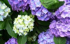 Hydrangea – TOP 10 Tips on How to Plant, Grow