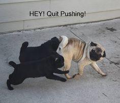 Pushy Pugs