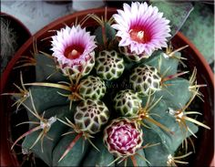 Cactus Flower, Planting Flowers, Succulents, Fruit, Cacti, Google, Gardening, Amor, Roses