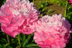 Джокер Peonies Centerpiece, Centerpieces, Gradient Color, Beautiful Gardens, Projects To Try, Horses, Floral, Flowers, Pattern