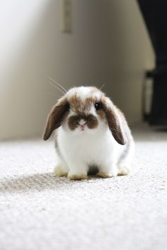 I want a pet bunny that just hops around the house and is litter box trained.