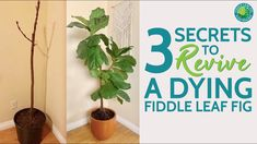 Do you have a sick plant? Maybe you inherited a dying fiddle leaf fig that you want to bring back to life. Fiddle leaf figs can be saved and can come back from bare trunks. Watch as Claire Akin, The Fiddle Leaf Fig Girl, shares her formula on how to save a fiddle leaf fig. Assessing the pot your plant is in, the light your plant is getting, and ensuring your plant is receiving the nutrients it needs is key to helping your fiddle leaf fig recover and thrive.