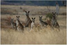 a mob of kangaroos Macedon Ranges, Collective Nouns, Lion Pride, Booker T, Yahoo Images, Habitats, Lions, Image Search