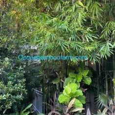 Juno Beach, Hallandale Beach, Pompano Beach, Delray Beach, Bamboo Plants For Sale, Ocoee Florida, Clumping Bamboo, Neptune Beach, Royal Palm Beach