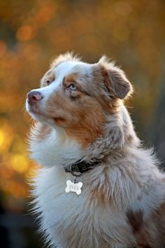 More About Australian Shepherd Tan Aussie Shepherd, Australian Shepherd Dogs, Shepherd Puppies, Miniature American Shepherd, Cute Dogs And Puppies, I Love Dogs, Doggies, Collie, Blue Merle