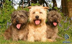 Glen of Imaal Terrier breed Photo