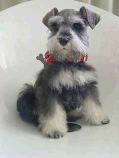 Ranked as one of the most popular dog breeds in the world, the Miniature Schnauzer is a cute little square faced furry coat. It is among the top twenty fav Raza Schnauzer, Miniature Schnauzer Puppies, Schnauzer Puppy, Cute Puppies, Cute Dogs, Dogs And Puppies, Doggies, Beautiful Dogs, Animals Beautiful