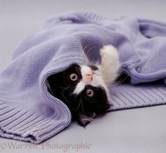 Black-and-white kitten with blue pullover