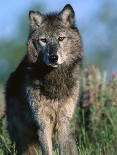 Sometimes, wolves leave their packs for various reasons. A wolf ...