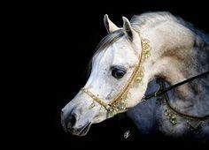 ANSATA NILE FALCON (US) 2008 Arabian Straight Egyptian grey stallion. Ansata Qasim {Farees x MB Moneena by Safeen} x Highview Nile Jewel {Raquin RA x Gift of The Nile by Ruminaja Bahjat} Maternal brother to Ansata Nile Commander. Bred by Judi Forbis, Ansata Egyptian Arabian Stud,  USA. Owned by Hadaya Arabians, LLC, Jaleen Hacklander, Waupaca, Wisconson, USA.