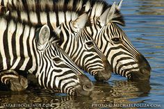 #Zebra drinking @ Etosha National Park in #Namibia. For a #Namibia travel guide visit www.safaribookings.com/namibia. With User reviews, travel info and photos.