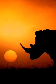 Silhouette of solitary rhinocerous at sunset on the Savannah in the summertime