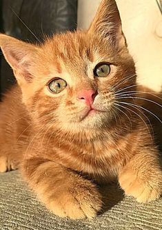 Orange kitten beauty. Orange Kittens, Cats And Kittens, Wise Animals, Ginger Cats, Cat Names, Primates, Beautiful Cats, Cute Cats, Pets