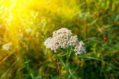 Řebříček obecný a jeho zdravotní účinky, pěstování, využití či recepty. Hned zjistěte veškeré informace, které potřebujete vědět o této úžasné rostlině. Bude, Dandelion, Health, Flowers, Plants, Chemistry, Health Care, Dandelions, Plant