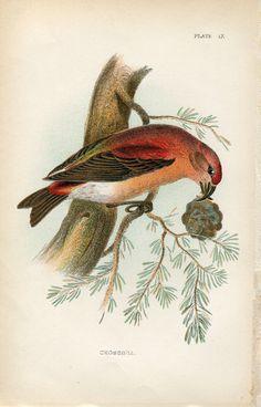 Bird IX Crossbill. Bird illustration