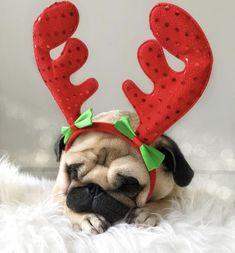 Christmas #pug #pugsofinstagram