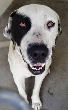 URGENT She is 3 and she has the coloring of a dalmation and the most incredible eyes. She is really sad and she just wants to go home and feel safe again. Please SHARE for her life, the shelter is FULL, a FOSTER or Adopter would save her now. Thanks! #A4850691 I'm an approx 3 year old female pit bull. I have been at the Carson Animal Care Center since July 1, 2015.Gardenia CA