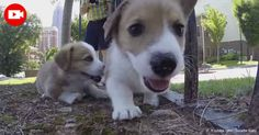 Toddling across the lawn, playing in the dorm with attentive students, these six little Corgis are caught on a GoPro camera as they romp around Georgia Tech. http://healthypets.mercola.com/sites/healthypets/archive/2016/05/06/gopro-catches-corgi-puppies-at-georgia-tech.aspx