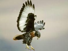 Águias - imagens para o desktop: http://wallpapic-br.com/animais/aguias/wallpaper-37754