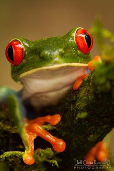 """Red Eyed Tree Frog"" ~ Photography by Jeffrey Muñoz on 500px.com"