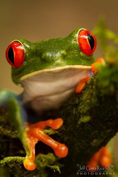 """Red Eyed Tree Frog"" ~ Photography by Jeffrey Muñoz on 500px.com"