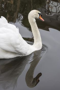 Swan on a Grey Day https://www.facebook.com/bruce.frye.photography/